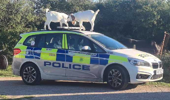 Goats cause damage to police car while officers attend UXO discovery